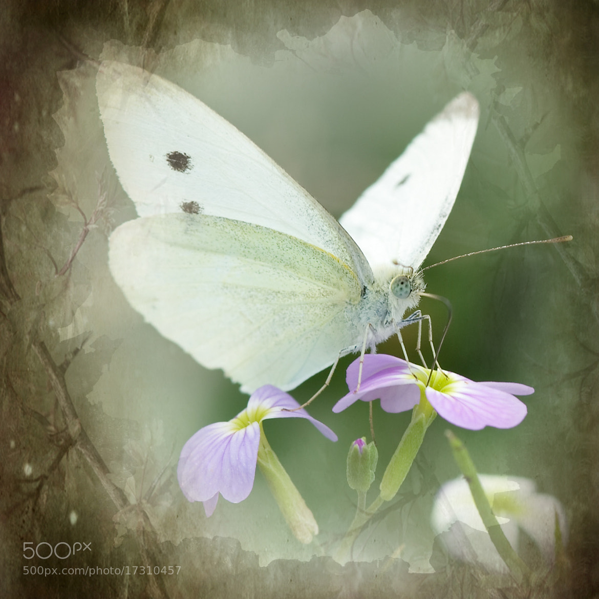 Photograph Large White by Steven House on 500px