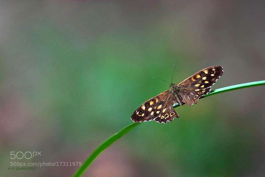 Photograph Speckled wood by Fabio Giarrizzo on 500px