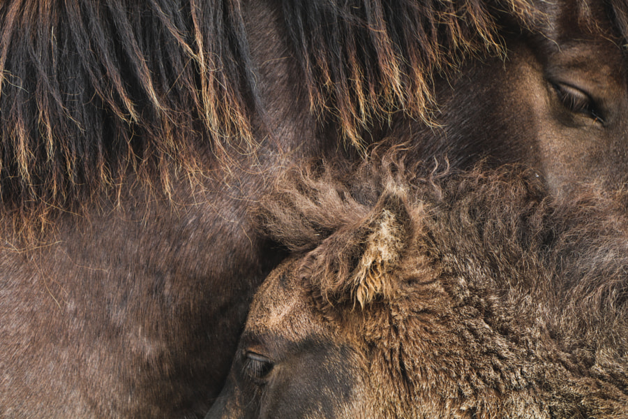 Icelandic Horses by Carolina Cristòfol Garcia on 500px.com