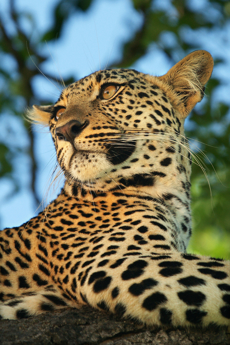 Photograph Leopard Female Beauty by Rudi Hulshof on 500px