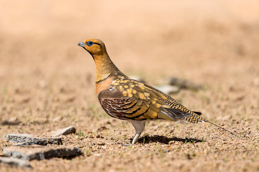 Pin-tailed Sandgrouse by Nimit Virdi on 500px.com