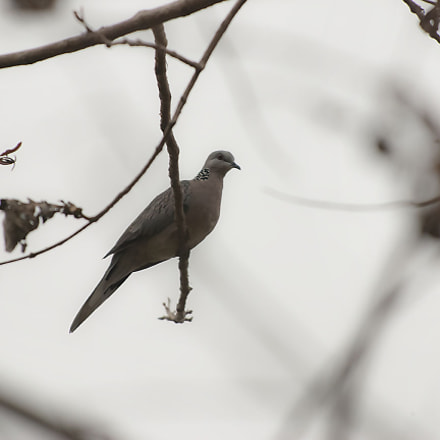 Spotted Dove, Nikon D80, AF-S VR Zoom-Nikkor 70-200mm f/2.8G IF-ED