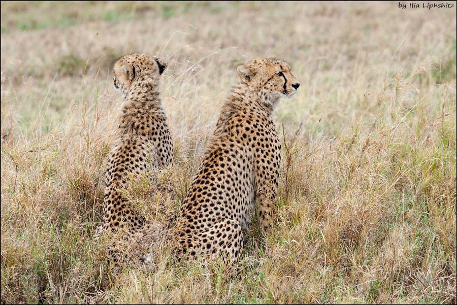 Cheetahs of Serengeti №21