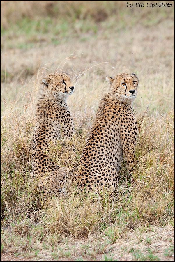 Cheetahs of Serengeti №22