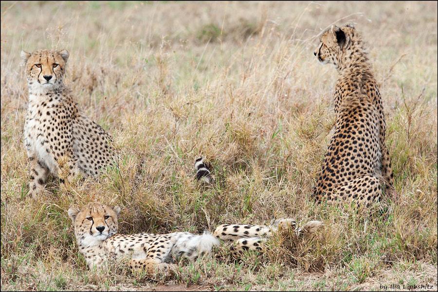 Playing young cheetahs - Cheetahs of Serengeti №23