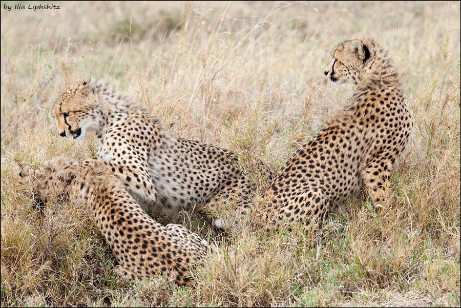 Playing young cheetahs - Cheetahs of Serengeti №24