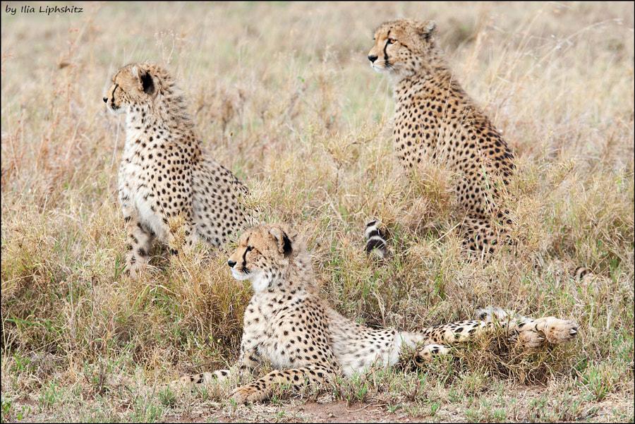 On the watch - Cheetahs of Serengeti №25
