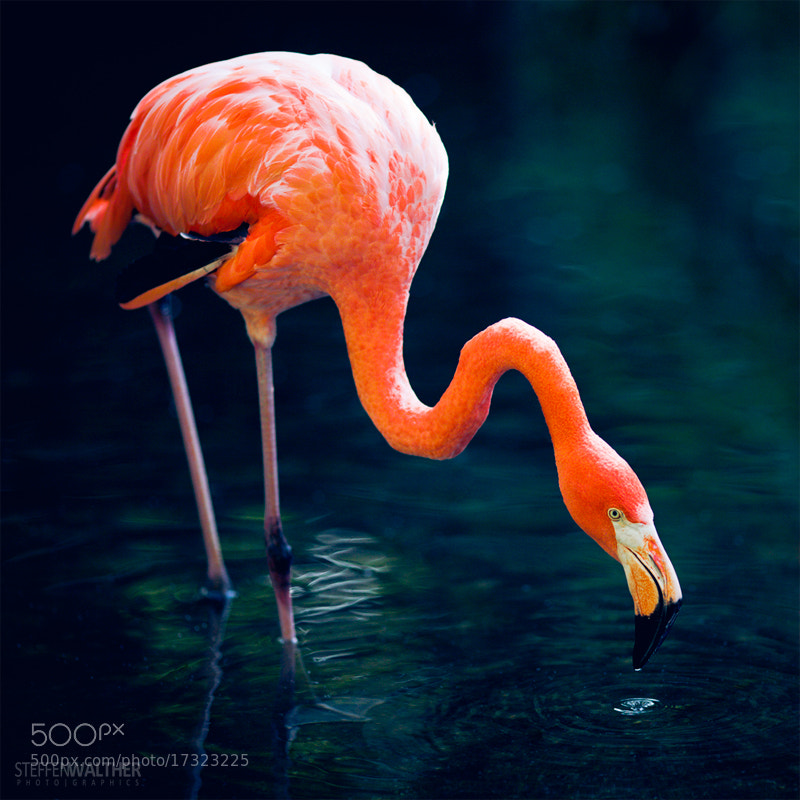 Photograph flamingo nip by Steffen Walther on 500px
