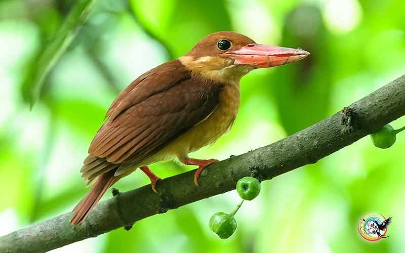 Photograph Ruddy Kingfisher by Andy Fu on 500px