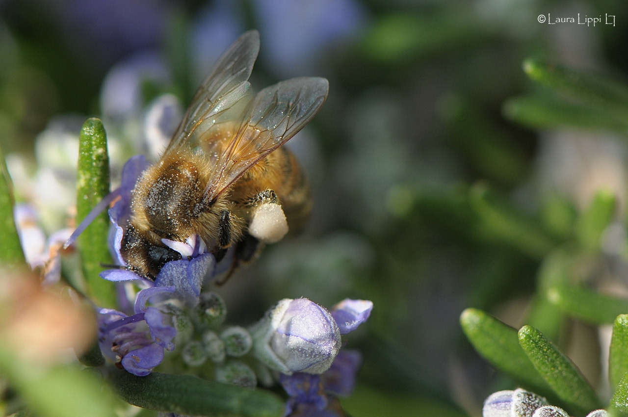 Photograph Bee at work by Laura Lippi on 500px