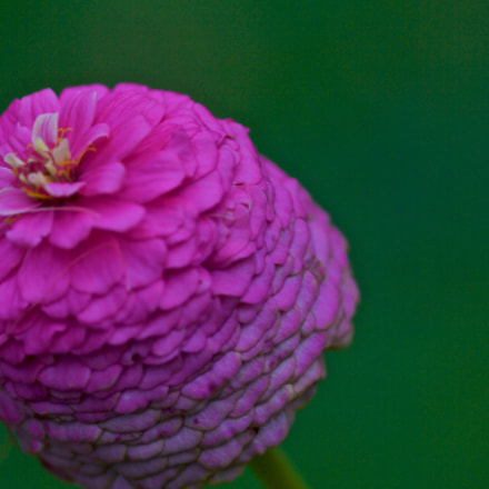 Pink flower close up, Canon EOS 1000D