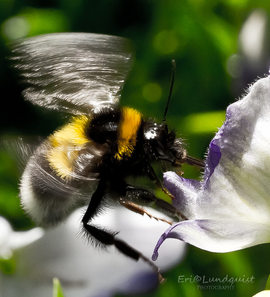 Photograph Bumblebee in action by Eric Lundquist on 500px