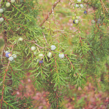 Greek juniper.Forest., Sony DSC-W200