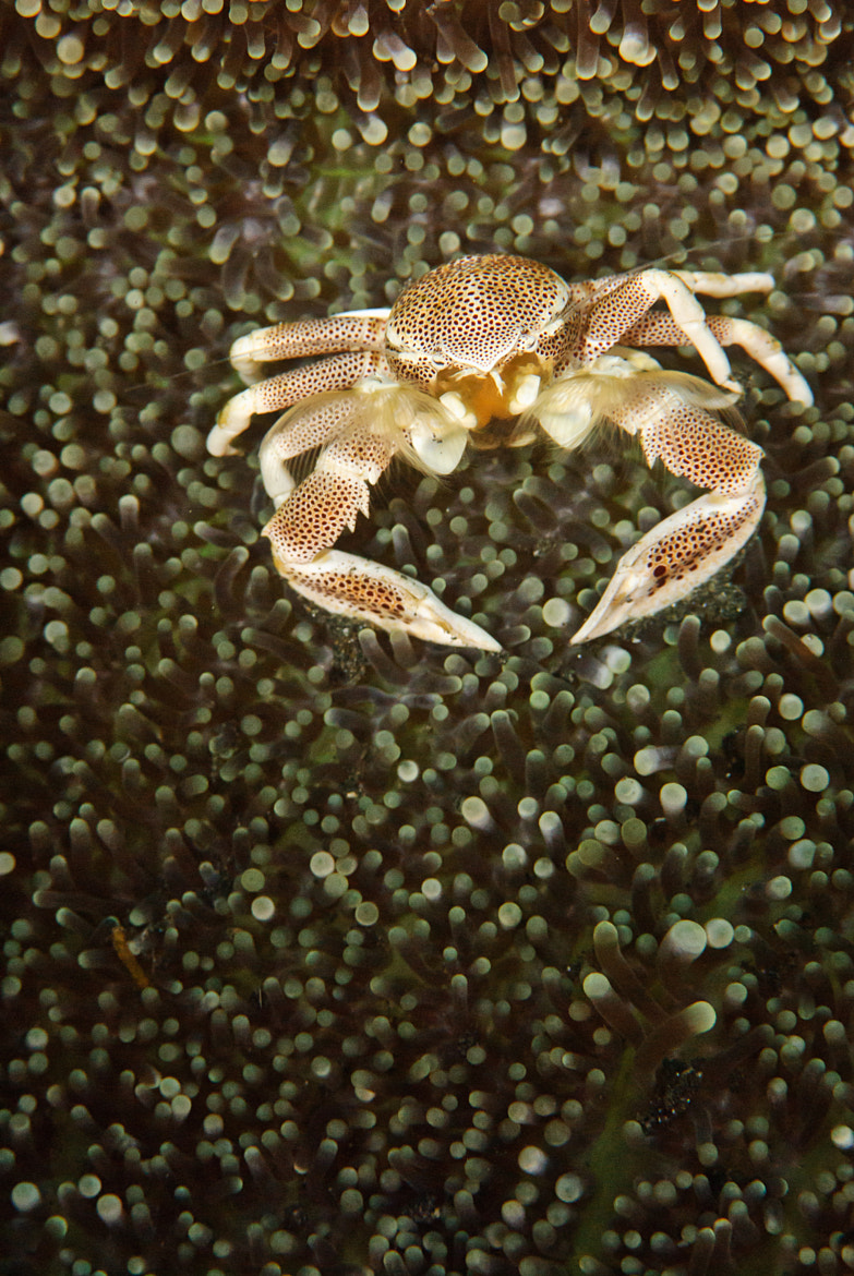 Photograph Porcelain Crab by Juanma Orta on 500px