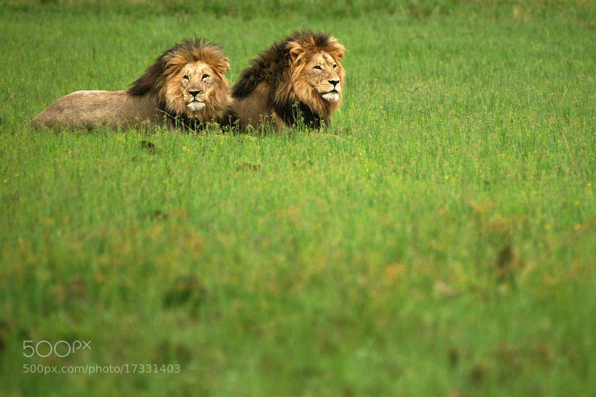 Photograph Lion Brothers by Rudi Hulshof on 500px