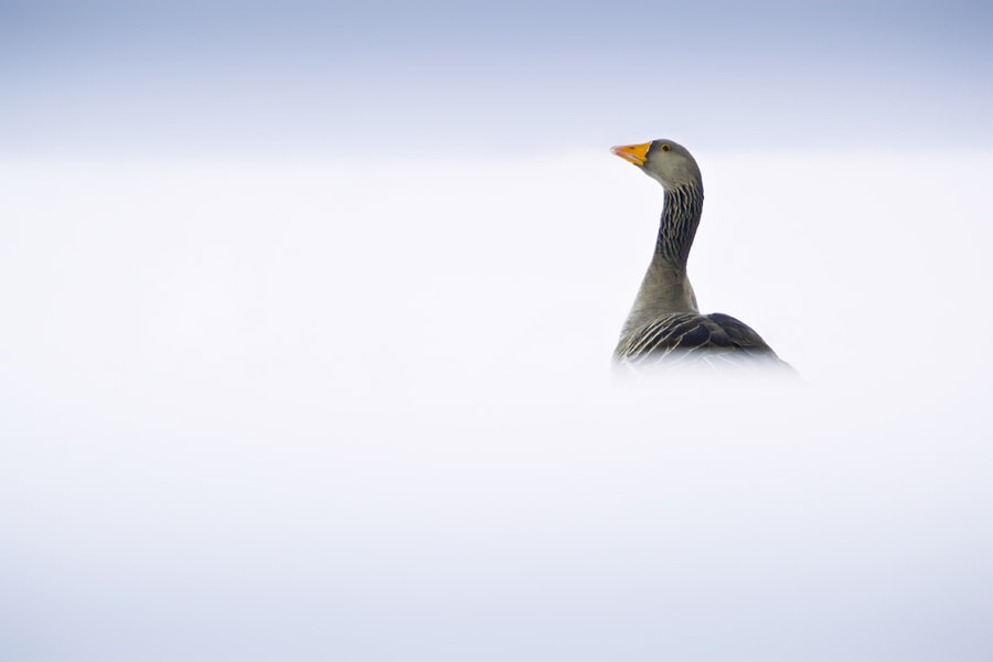Photograph Greylag Goose in Snow by Neil Aldridge on 500px