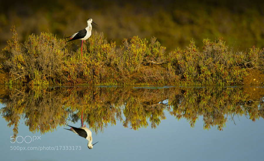 Photograph Blackwinged Stilt by Neil Aldridge on 500px