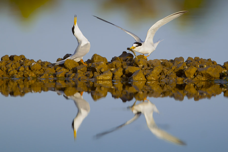 Photograph Courting Terns by Neil Aldridge on 500px