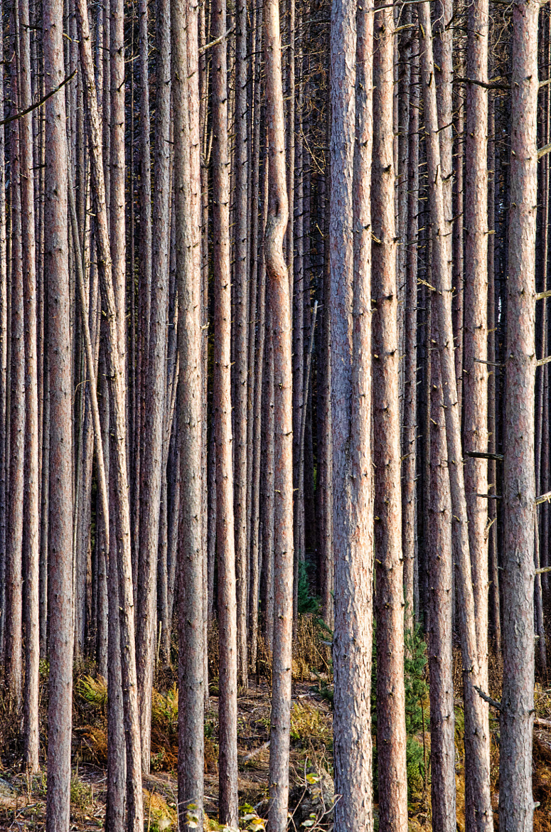 Photograph Red Pine Forest by Mark Cherrington on 500px