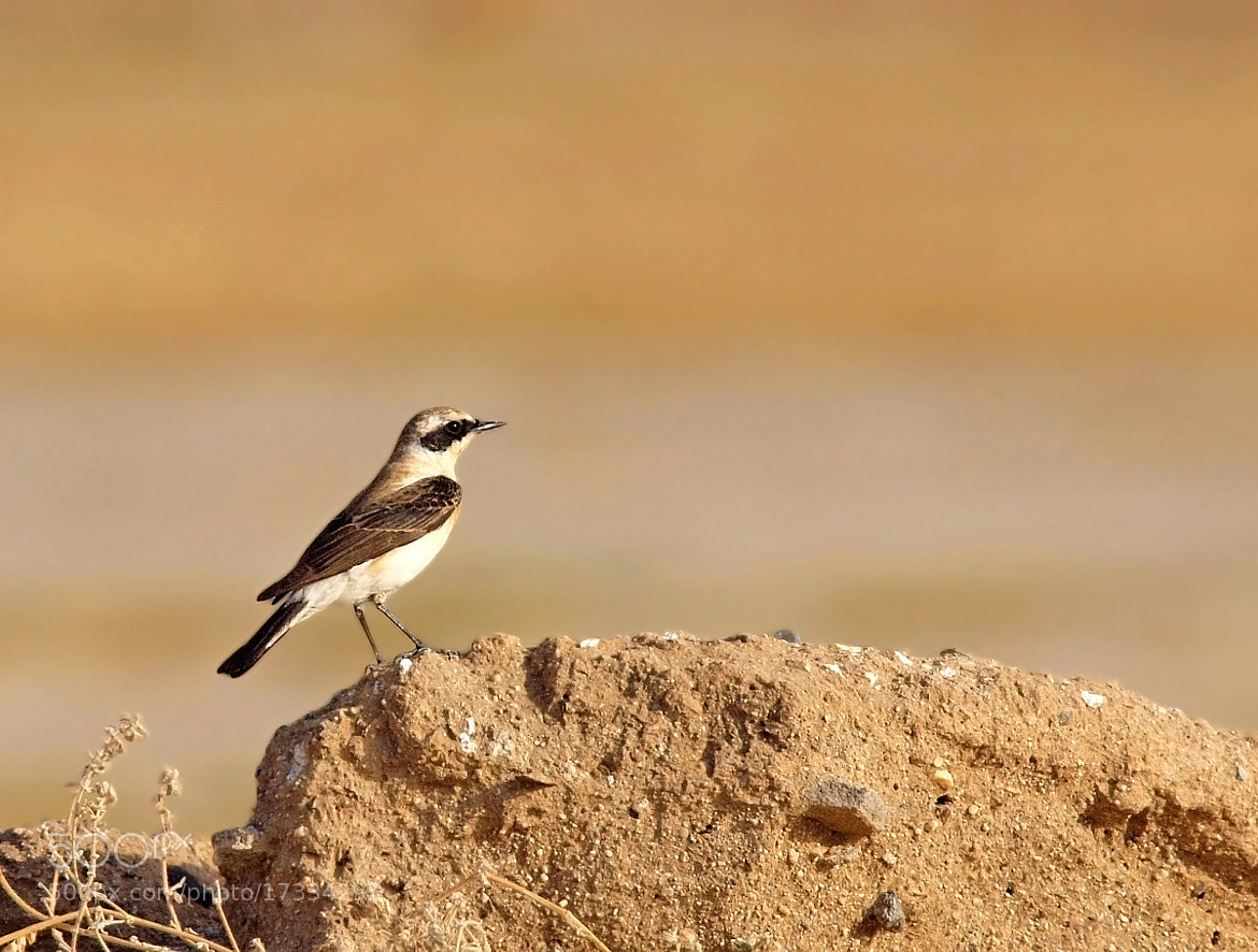 Photograph Black eared wheatear by ammadoux on 500px