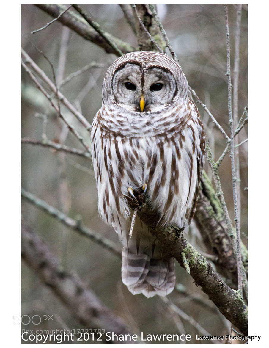 Photograph Barred Owl Version 2 by Shane Lawrence on 500px