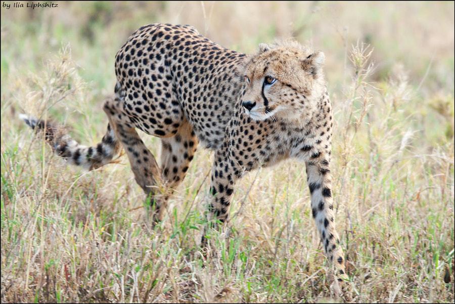 Cheetahs of Serengeti №26