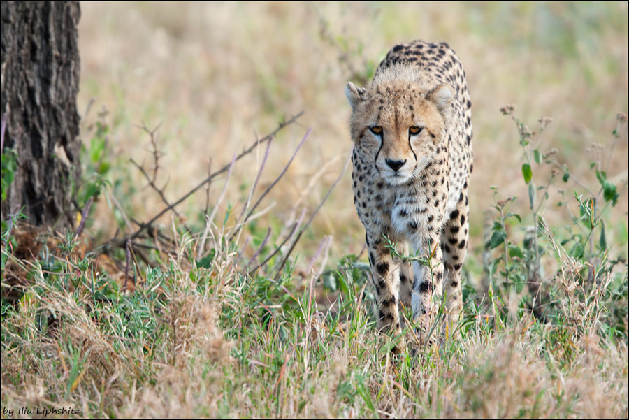 Cheetahs of Serengeti №27