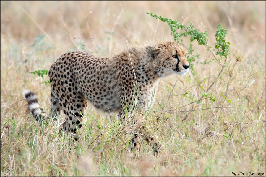 Cheetahs of Serenget №28