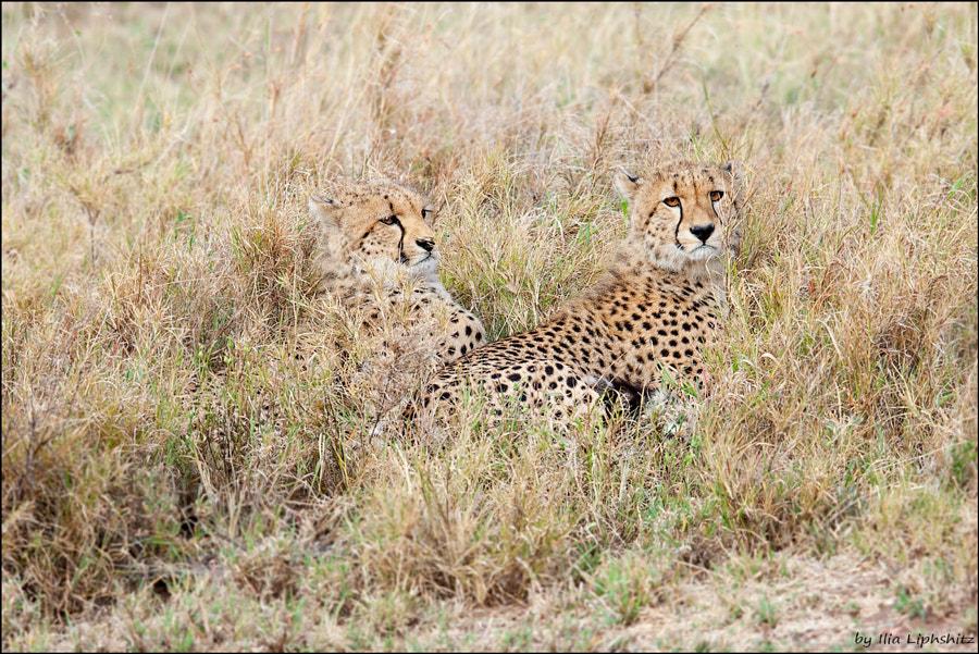 Cheetahs of Serenget №29