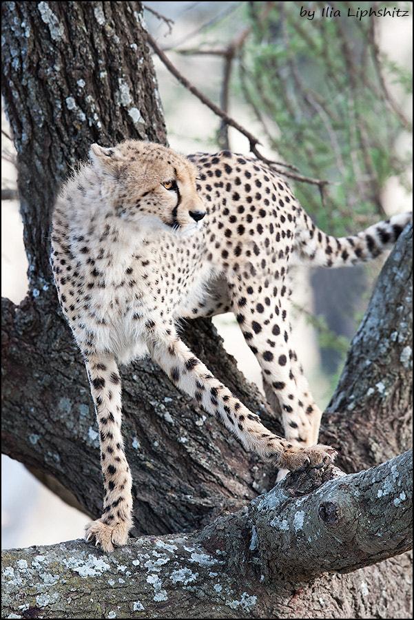 Cheetahs of Serengeti №30