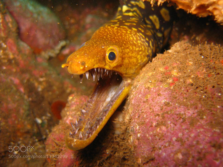 Photograph Enchelycore anatina by Susana Martins on 500px