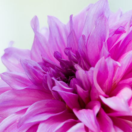 Pink Dahlia, Canon EOS REBEL T3, Canon EF 100-400mm f/4.5-5.6L IS