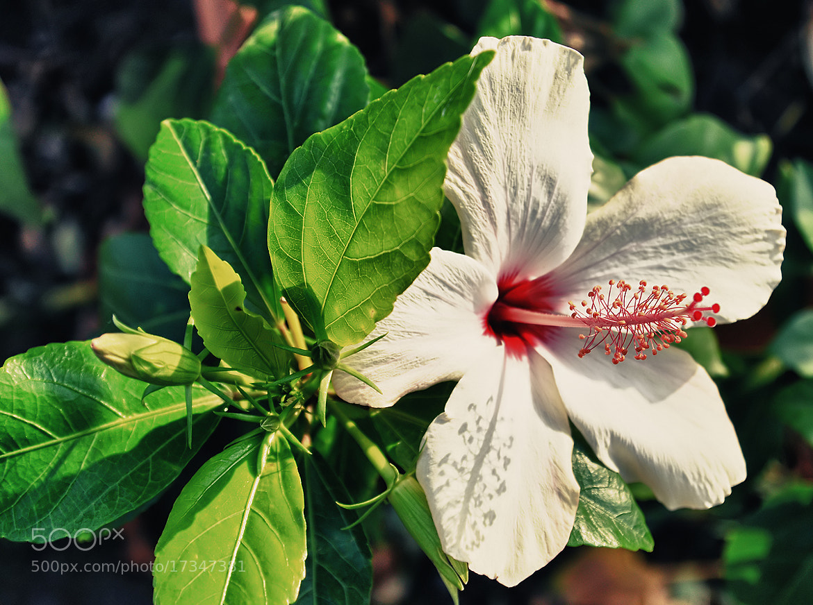 Photograph hibiscus by dogukan canakkale on 500px