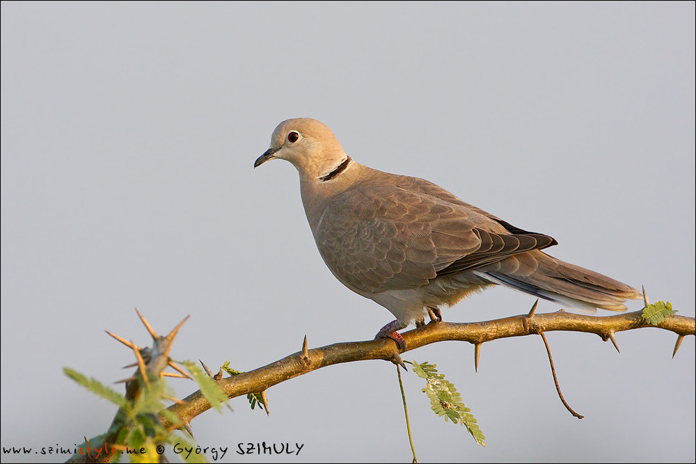 Photograph Eurasian Collared Dove (Streptopelia decaocto) by Gyorgy Szimuly on 500px