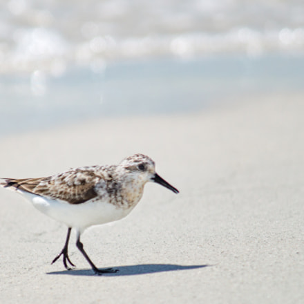 Sanderling On Treasure Island, Sony SLT-A57, Tamron SP AF 200-500mm F5.0-6.3 Di LD IF