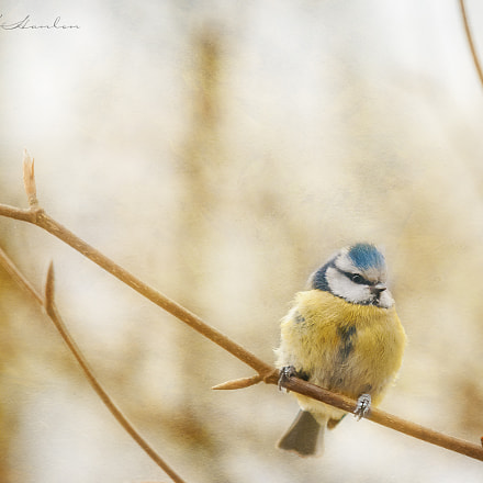 Blue Tit, Nikon D300, Sigma APO 100-300mm F4 EX IF HSM
