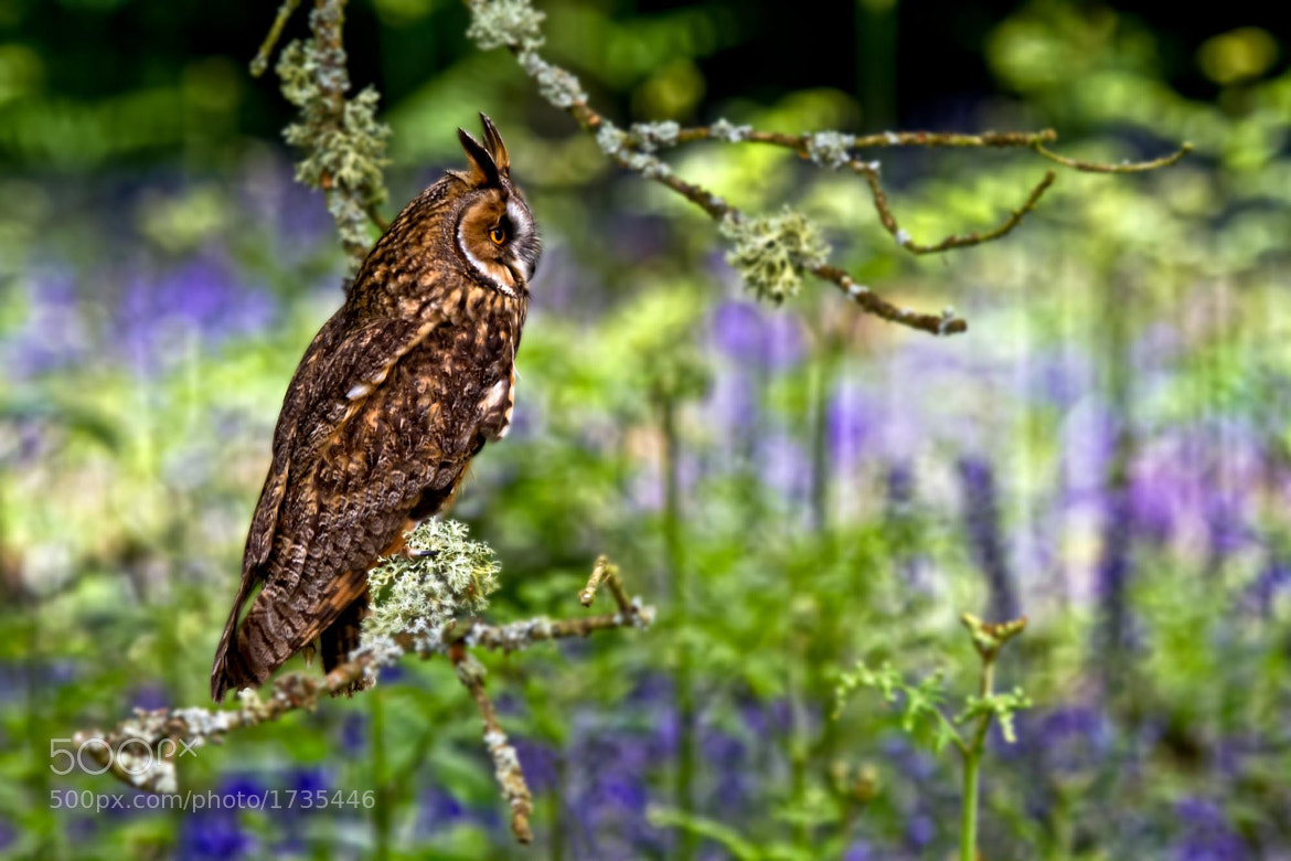 Photograph Long Eared Owl by Steve Bryson on 500px