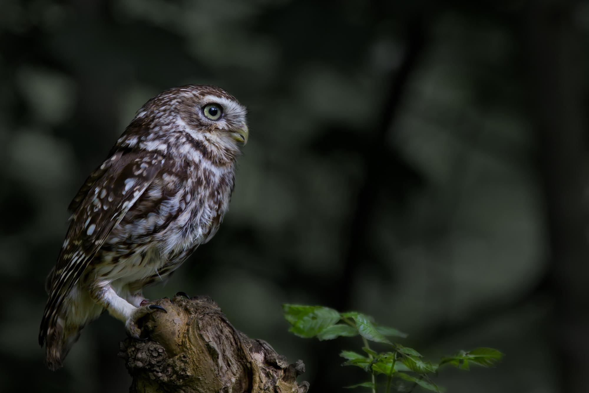 Photograph Little Owl by Steve Bryson on 500px