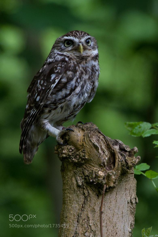 Photograph Little Owl by Steve Bryson on 500px