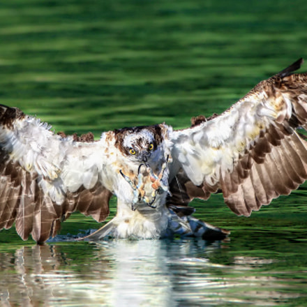 Osprey, Canon EOS 7D MARK II, Canon EF 600mm f/4L IS