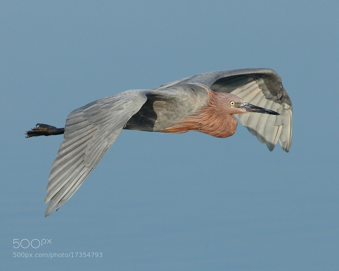 Photograph Reddish in flight by Chim Co on 500px