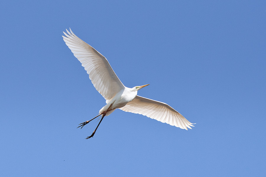 Photograph Great Egret in flight by Andrey Goncharov on 500px