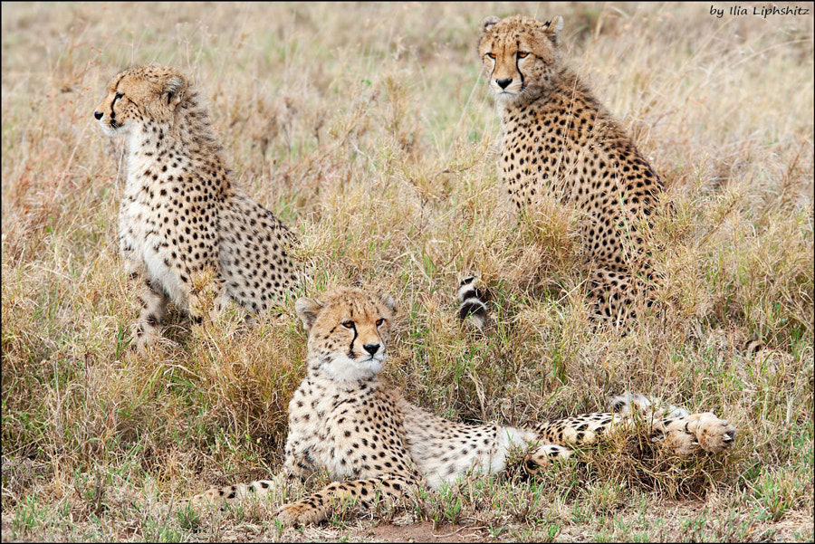 Cheetahs of Serengeti №31