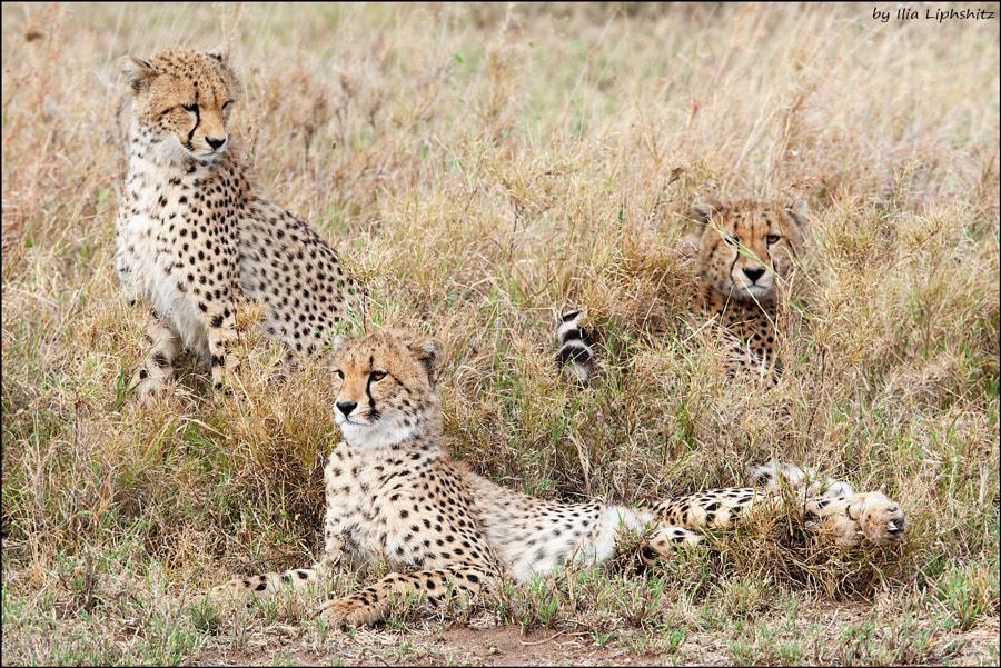 Cheetahs of Serengeti №32