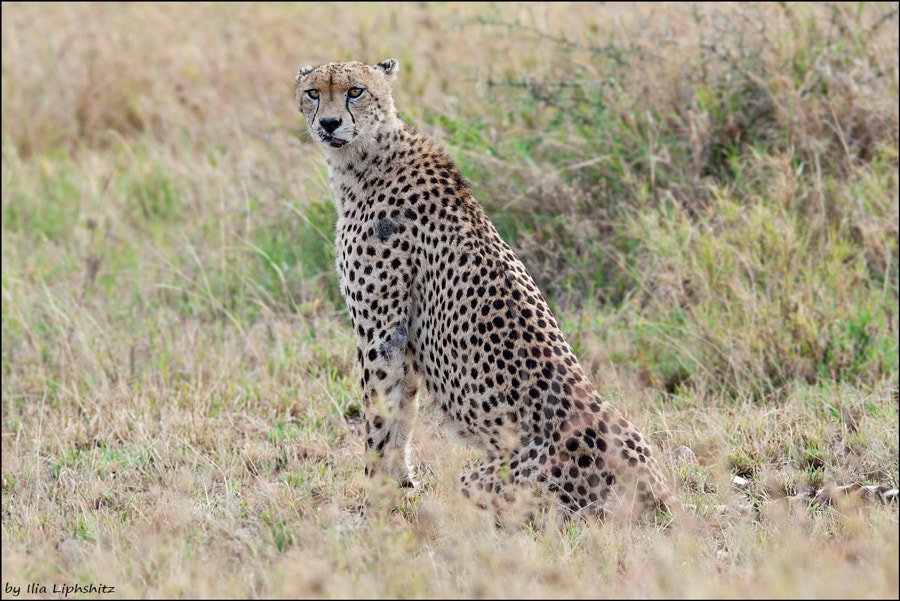 The mother of the cubs from previous photos - Cheetahs of Serengeti №33