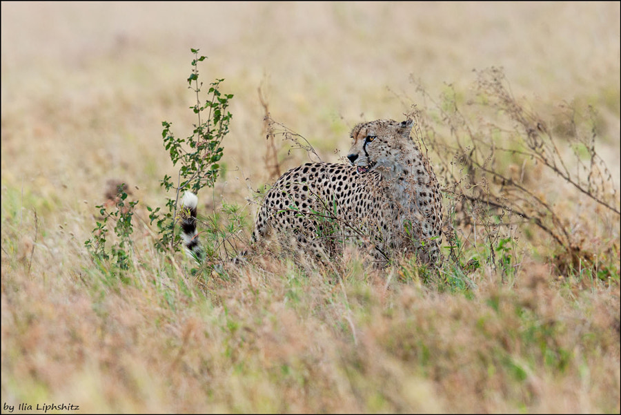 The mother of the cubs from previous photos - Cheetahs of Serengeti №34