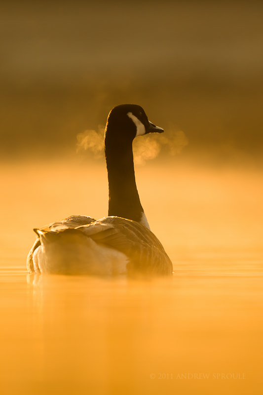 Photograph Canada Goose at first light by Andrew Sproule on 500px