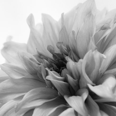 Dahlia in Black and, Canon EOS REBEL T3, Canon EF 100-400mm f/4.5-5.6L IS