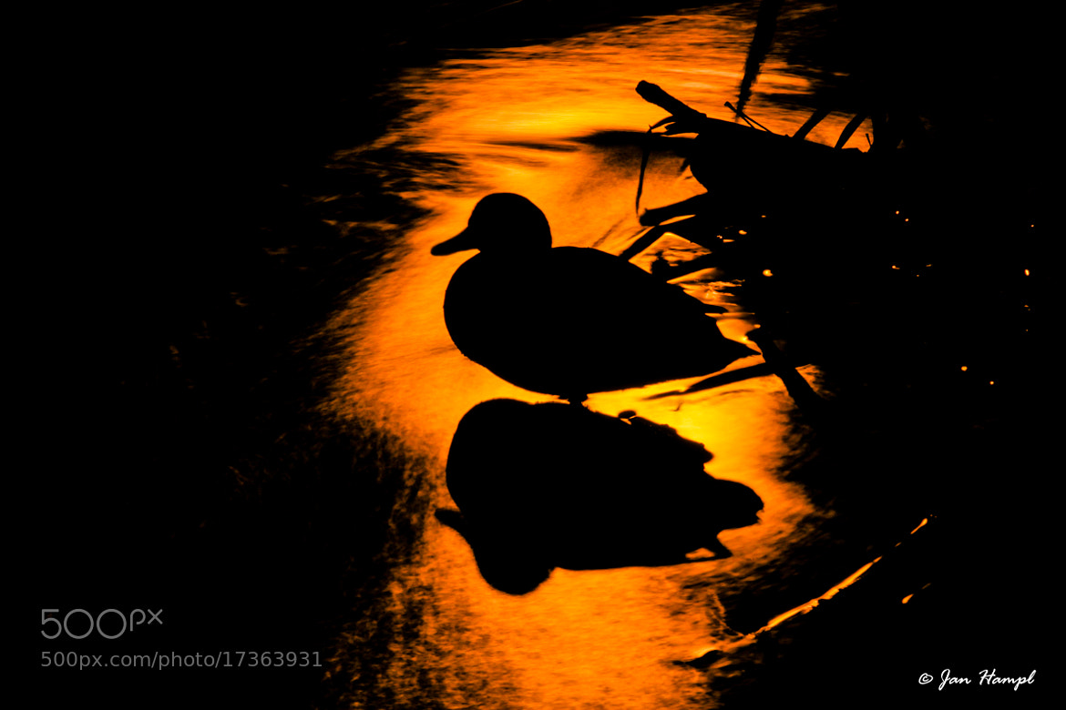 Photograph Duck in the river at night by Jan Hampl on 500px