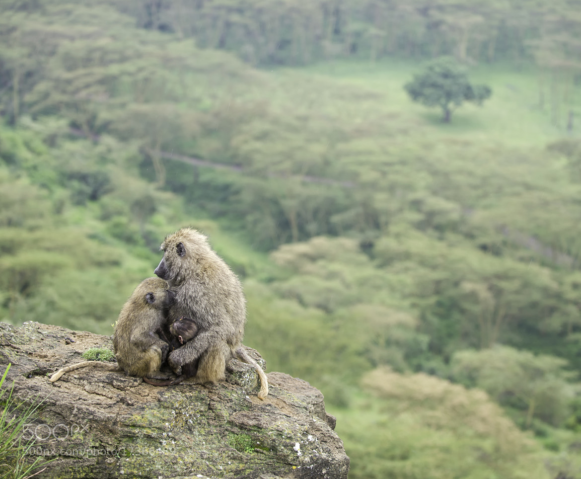 Photograph Baboon-Family by Reto Bühler on 500px